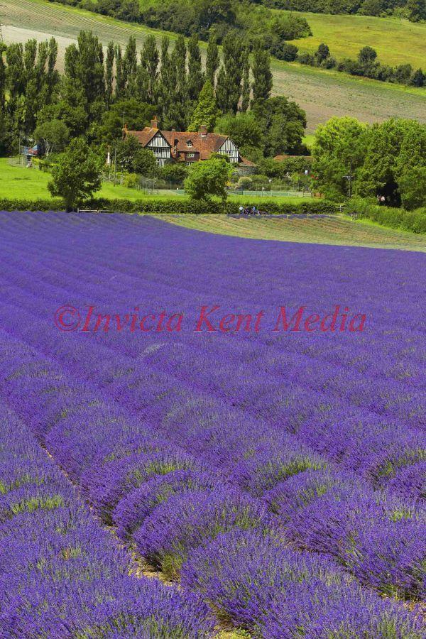 Kent Lavender field, UK by Jim BennettGod Beautiful, Lavender Fields, Beautiful Creations, Beautiful Places, Jim Bennett, Gardens Goodies, Kent Lavender, Favorite Spaces, Favorite Flower