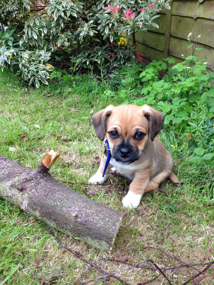 Cute jug puppy dog! Jack Russell cross pug! #jug #jackrussell #pug #pup #cute #puppyphotography www.instagram.com/marshallthejug