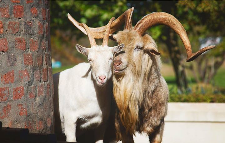 A moment captured in the farm sun! #StolenMoments #Bleetings #GoatLove #Sunshine www.fairview.co.za