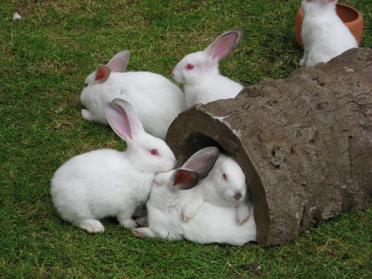 blanca conejito