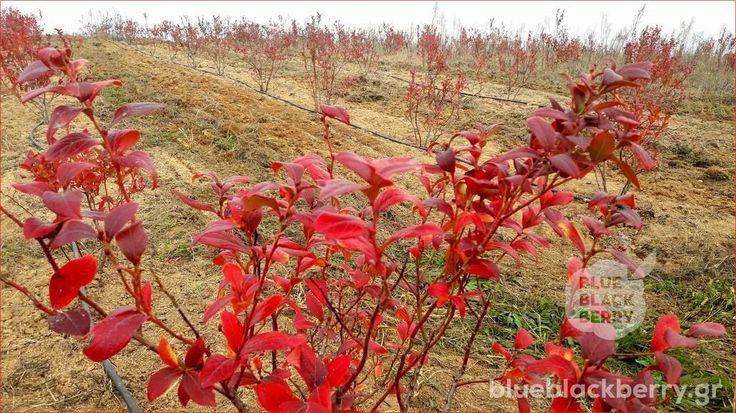 Τα μυρτιλλάκια μας έχουν φορέσει εδώ και λίγες εβδομάδες τα φθινοπωρινά χρώματα, «κοκκινίζοντας» την πλαγιά τους.