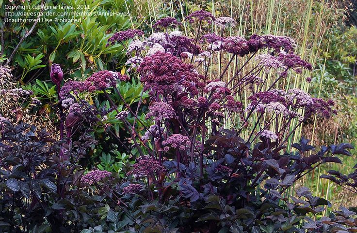 View picture of Angelica 'Purpurea' (Angelica stricta) at Dave's Garden. All pictures are contributed by our community.
