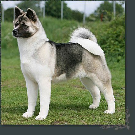 Japanese Akita.  I used to see one of these everyday on my way to work in Hoxton a few years back. His name was Elvis, he was old and the most docile loveable package of fluff. If you tickled behind his ear, his back leg used to twitch. Very funny.