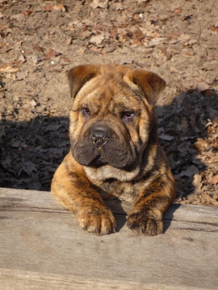 bulldog shar pei mix! ohhhh the wrinkles! I want I want I want!! I have a shar pei at home with mama! Her name is Siopao ! Pao Pao for short .. But I love this mix!!!