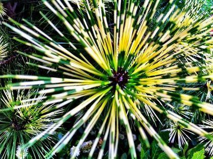 Borovica hustokvetá Oculus Draconis 40/50 cm v črepníku Pinus densiflora Oculus Draconis