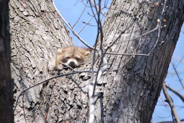 Sleeping racoon