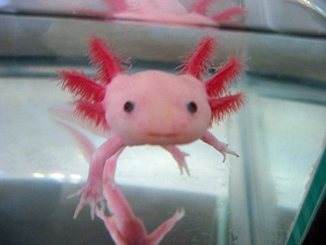 Another Photo of an Axolotl! I almost can't believe this one is real. Such a strange little guy!