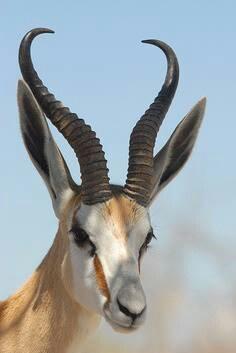 Africa | Springbok. Etosha National Park. Namibia | © Jean-Paul Bonnafe