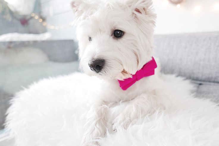 """Peach the WestieBestie wearing """"Pretty in Pink"""" bow tie from @ThriftyPup 