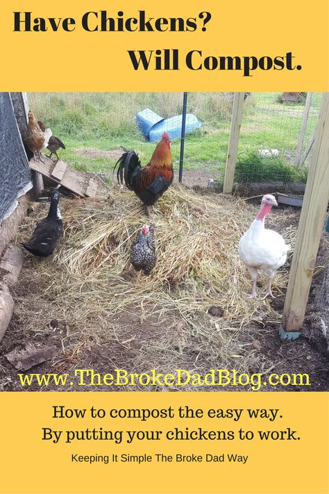 Composting with chickens. The Broke Dad's guide to composting using chickens to create perfect compost for the backyard garden and farm.