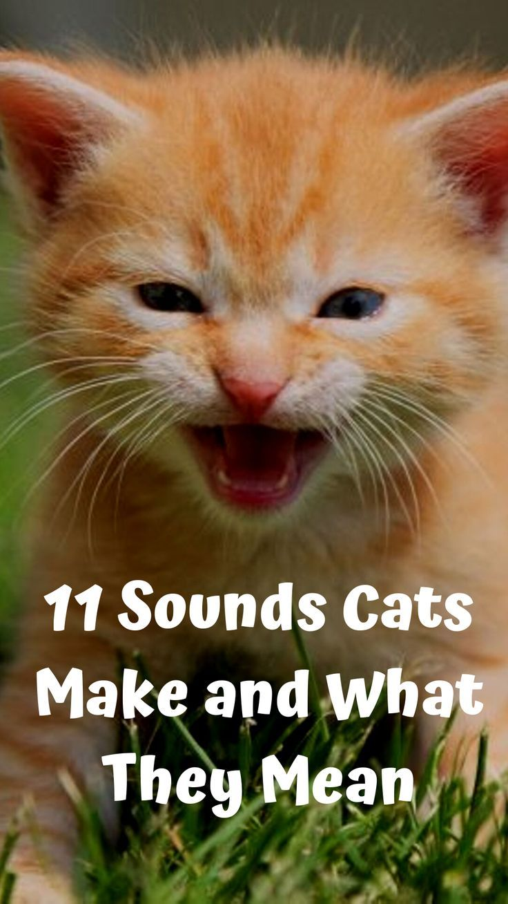 11 Sounds Cats Make And What They Mean Cute Cats Dogs Cats Fancy Cats