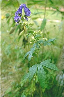 Wild Monkshood aka wolvesbane deadly poison! Sometimes even from touching. Smelling them can make you very ill. Comes in variety of colors which they sell online! I wouldn't grow it! I read the wild variety (blue/purplish) grows across the northern hemisphere. Don't encourage children to pick wild flowers if you don't know what they are!