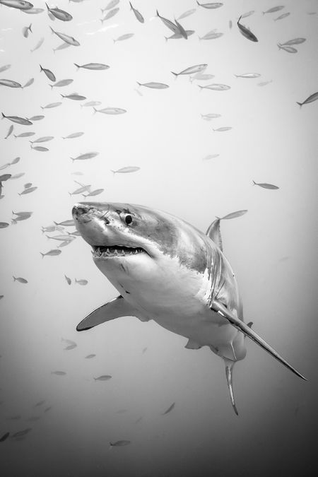 Great White Shark of Guadalupe Island Photo by Marc Henauer -- National Geographic Your Shot