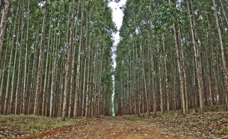 Reflorestamento: mata nativa ou florestas plantadas?