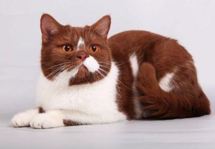 British Shorthair Cinnamon and white | British Shorthair Cinnamon Kitten Stays Kitten Size