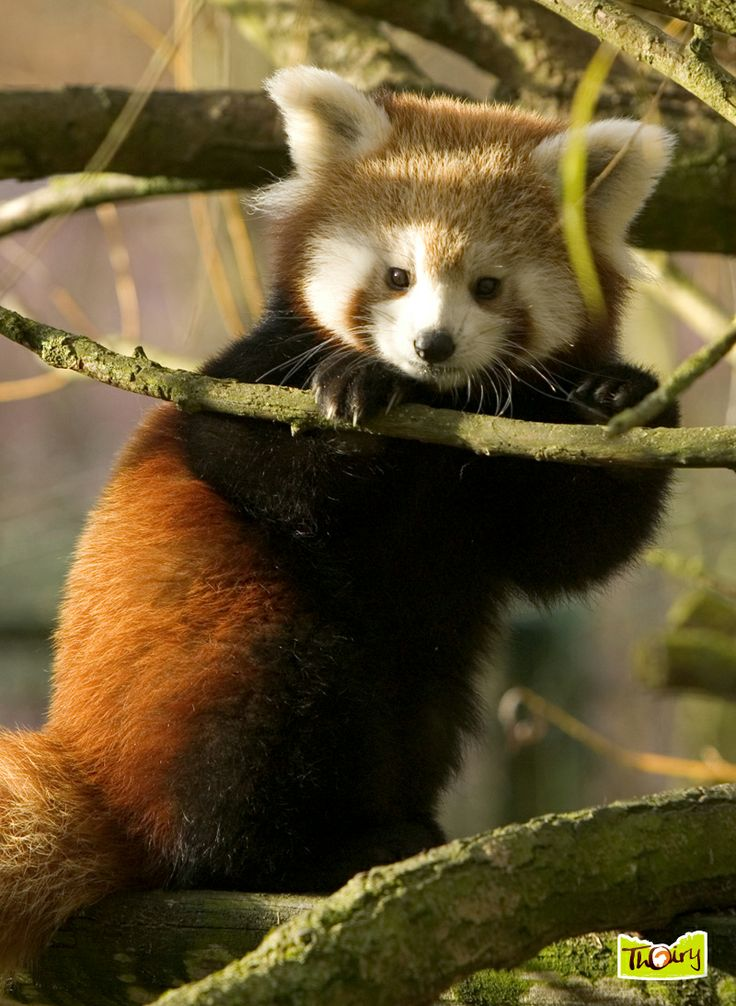 Panda Roux - Parc à pied - Parc Zoologique de Thoiry