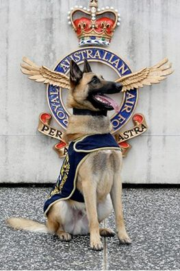 Meet King, whose life as a stray has turned around in a big way. This once homeless dog is now on the road to becoming to a Royal Australian Air Force military working dog....proud & handsome!!!