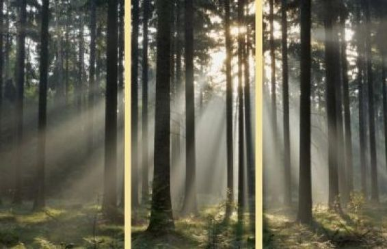 Trees Triptych (000302) - Arthouse Art - Three individual canvases make up this beautiful atmospheric image of sunlight through a misty woodland scene.   Each canvas 25 x 50cm - Overall size of all 3 canvases 75 x 50 x 1.8 cm deep.