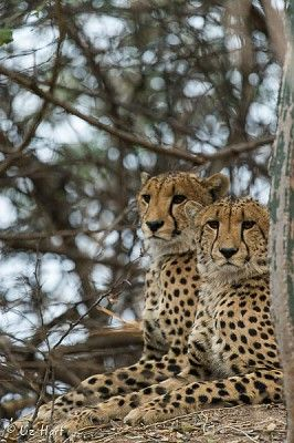 Cheetah brothers on the Busanga Plains