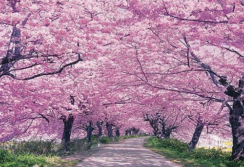 Cherry Blossoms in Yoyogi Park, Tokyo.