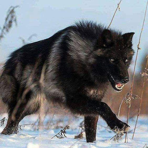l lobo, que es un depredador, se halla en una gran cantidad de ecosistemas. Este amplio territorio de hábitat donde los lobos medran refleja su adaptabilidad como especie, ya que puede vivir en bosques, montañas, tundras, taigas y praderas. Desgraciadamente, la especie está reconocida como en peligro o amenazada debido a la caza.