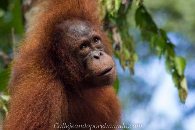 orangutan semenggoh borneo malasia (6)