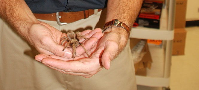 Auburn researchers have discovered a new trapdoor spider species and named it in honor of Aubie.