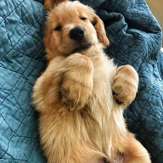 #welovegoldens by goldenretrievers_
