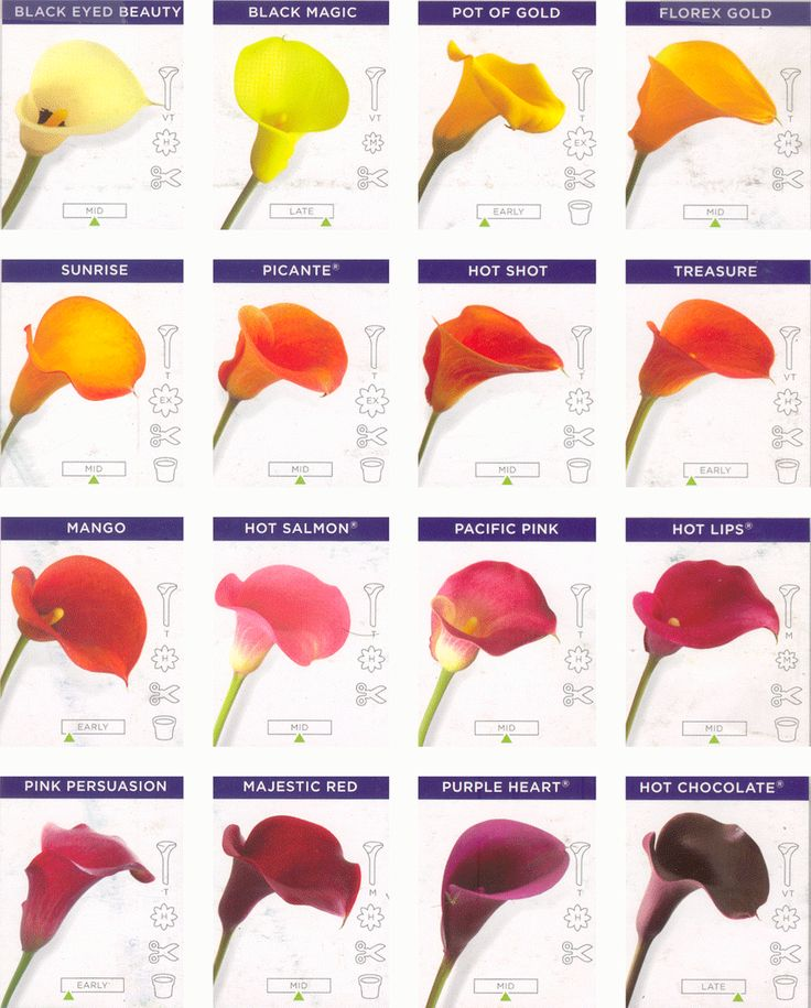 Google Image Result for http://www.calla-lily-flower.com/images/709157f75ceefe51b38319188bb7f814.gif