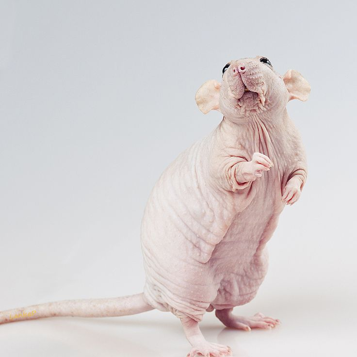 """My newest baby is a hairless. I've named him """"Little Man Tater"""""""