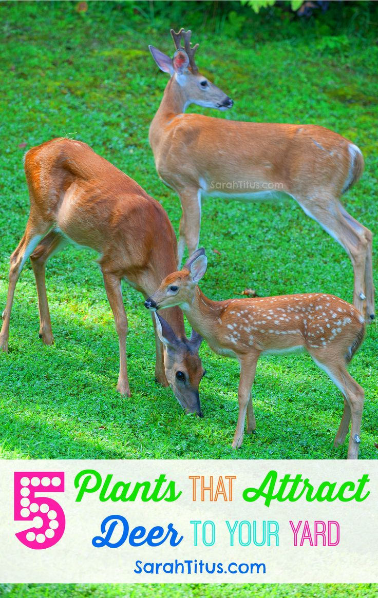 5 Plants That Attract Deer To Your Yard.  Most gardeners spend a lot of time trying to figure out how to keep deer out of their gardens, but there are some of us that want to attract deer to our yard. Watching wildlife as it moves through your... [Read On]