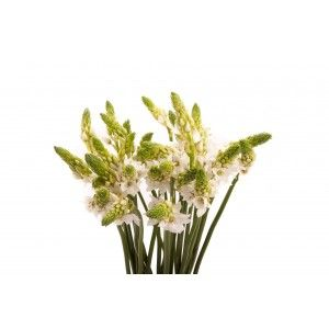 Star of Bethlehem Flower – White