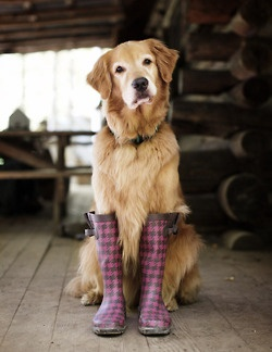 Need to do this with MabelRainboots, Puppies, Golden Rules, Rain Boots, Rainy Day, Big Dogs, Animal, Golden Retriever