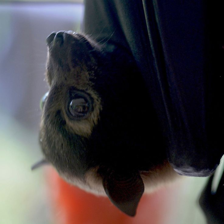 Belle the orphan spectacled flying fox