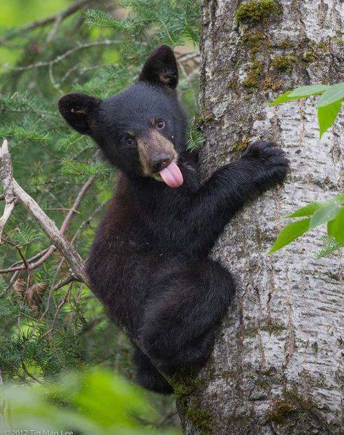 Baby black bear cub in tree sticking his tongue out! Free ... - photo#20