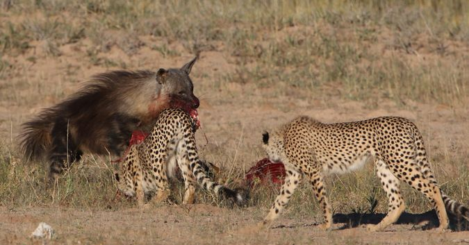 An opportunistic brown hyena helps itself to a cheetah kill in the Kgalagadi Transfrontier Park in South Africa.