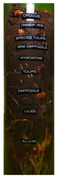 BLOG.SWEETPEABLOOMS.CA: Layering Bulbs :: How to get more bulbs into your urban garden