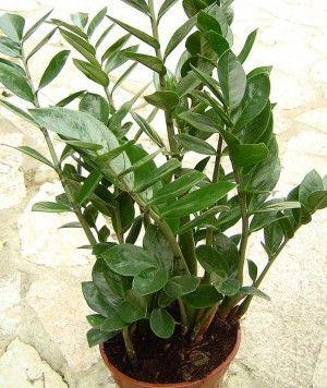Zamioculca (zamioculcas zamiifolia)  Folhagem brilhante resistente para interiores e locais pouco iluminados