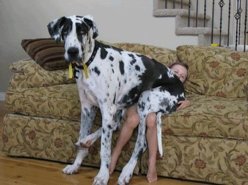 10 Pictures Only Great Dane Owners Will Think Are Funny #greatdanefunny
