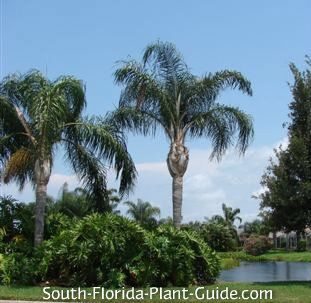 Queen Palm Syagrus romanzoffiana The popular queen palm tree has everything we love in a landscape palm - a stately yet tropical look, a fast growth habit, and a moderate tolerance for cold, drought and salt air.
