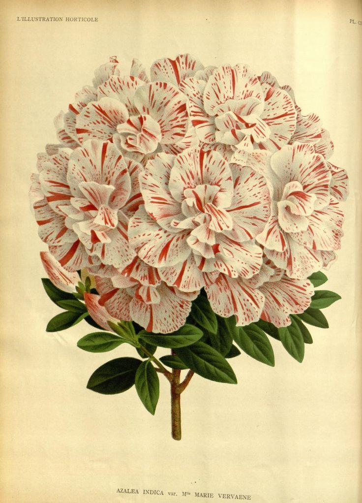 v.37 (1890) - L'Illustration horticole : - Biodiversity Heritage Library