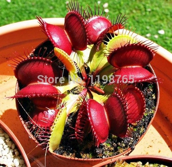 500pcsPromotion!!!  Dionaea Muscipula Giant Clip Venus Flytrap Seeds Bonsai plants Flower seeds Free shipping >>> You can find more details by visiting the image link.
