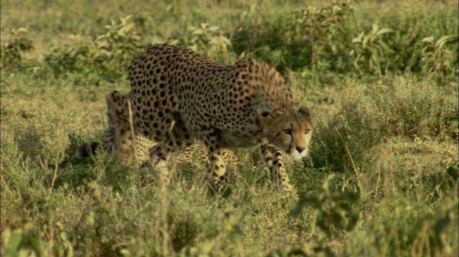 Il ghepardo e le sue abitudini