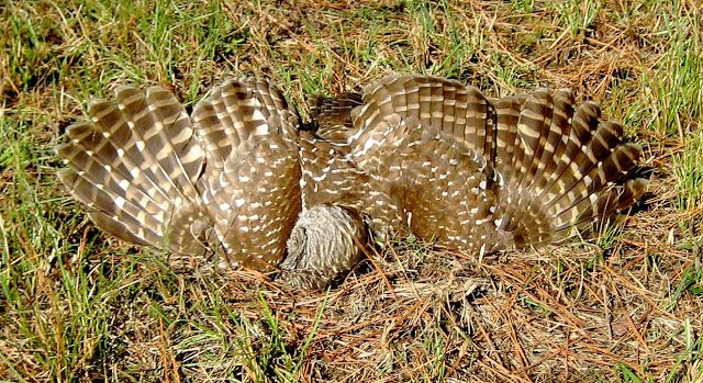 Living Rootless: A Visit Back to Missouri: A Barred Owl, Dead