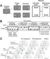 Role of Dopamine in the Primate Caudate Nucleus in Reward Modulation of Saccades (Behavioural Systems and Cognitive Learning)
