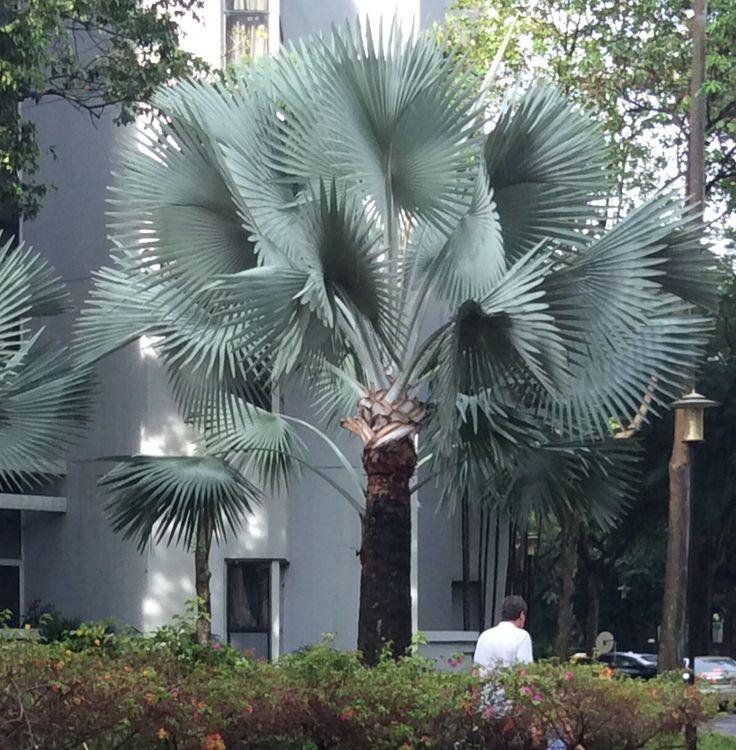 Les 162 meilleures images du tableau les palmiers sur for Bouture yucca exterieur