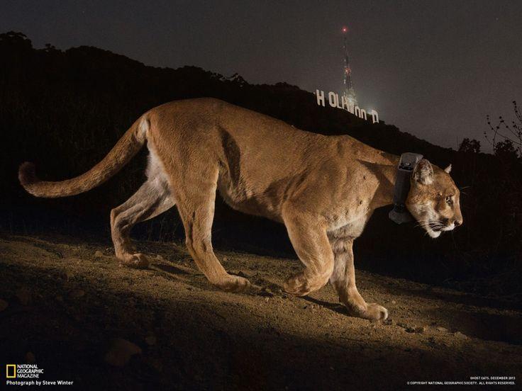 Un puma filmé en caméra cachée s'aventure sur les collines d'Hollywood