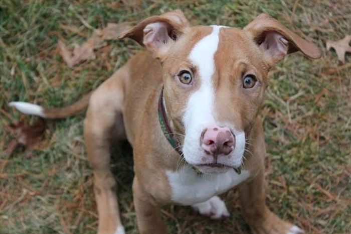 Pitbull German Shepherd Mix Intelligent Strong Family Dog
