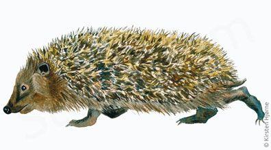 Pindsvin - European hedgedog - Erinaceus europaeus