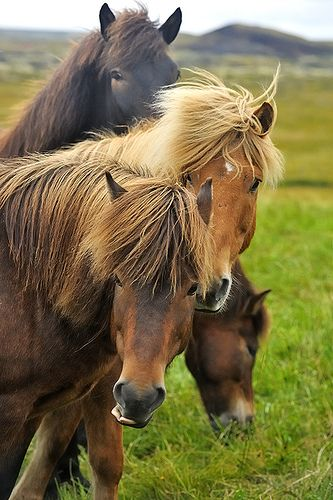 Icelandic horses...so typical and beautiful.